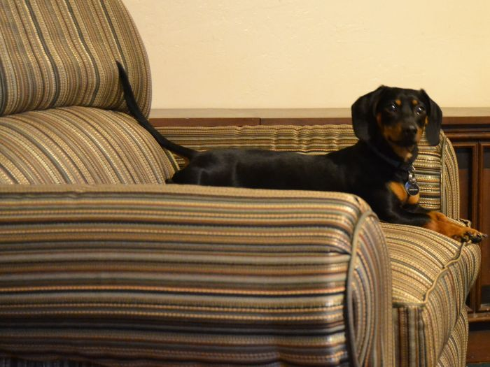 dog claiming the recliner already